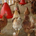 Het houden van kippen